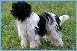 Holandsky pastiersky pes