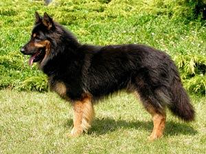 Chodský pes  80b30ae8701